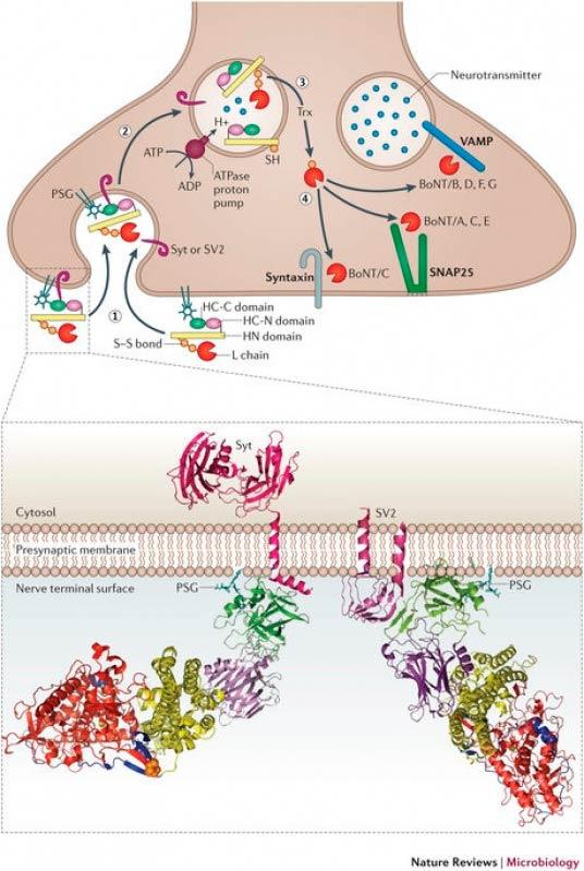 Toxina Botulínica para Distonia Vila Clementino - Botox para Dor Muscular